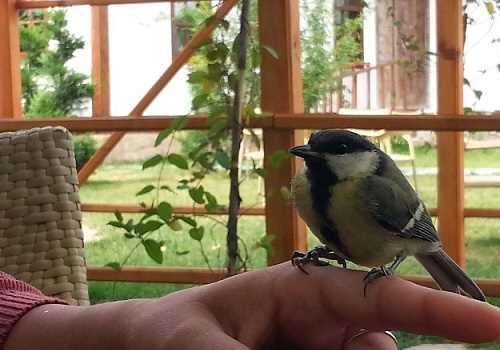 Büyük Baştankara Kuşu
