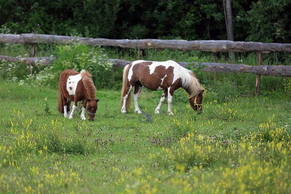 Çocuklar için ponyler ile binicilik eğitimi