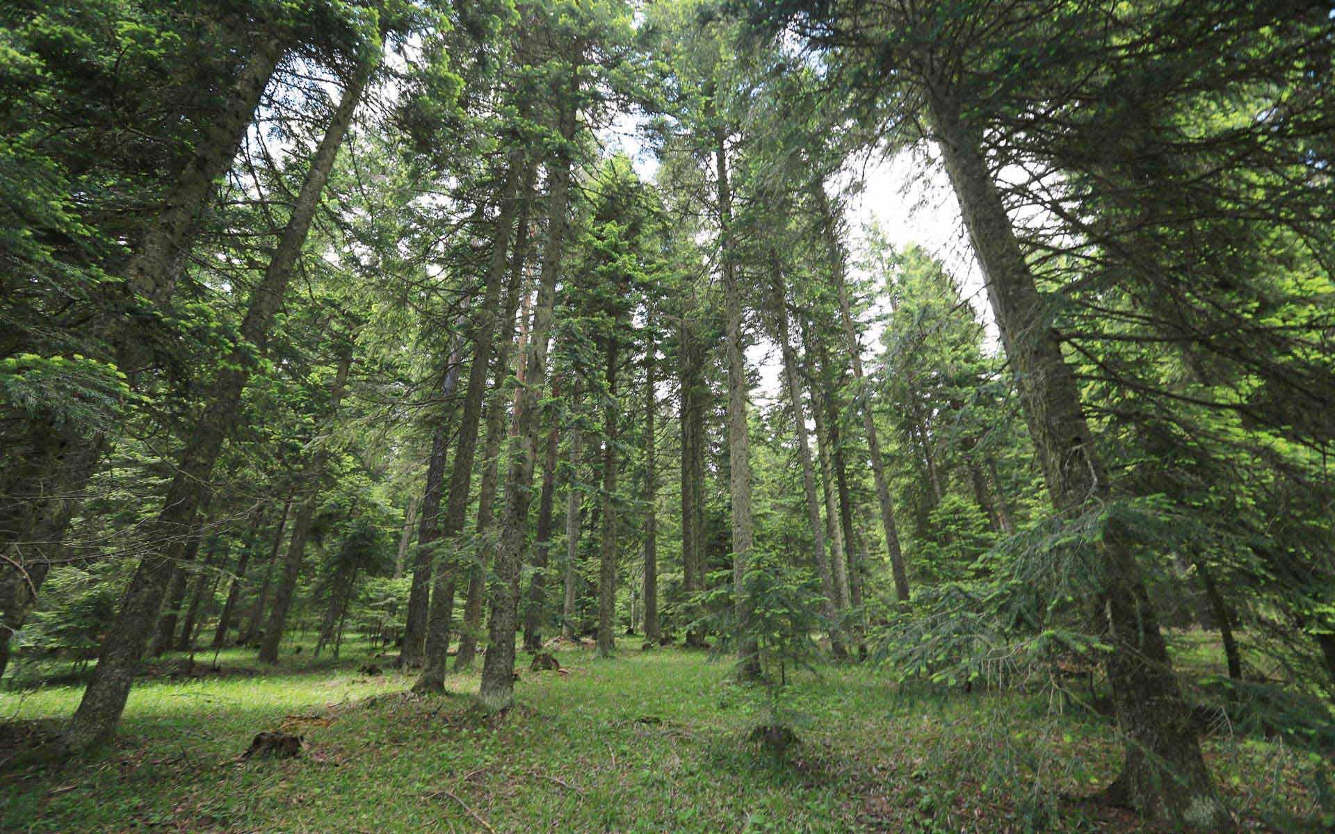 Kastamonu Daday Soğucaova Orman Fotoğrafı